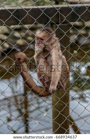 The critically endangered Ecuadorian Capuchin monkey in captivity in Rescue center, Ecuador