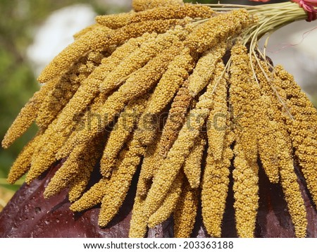 The crops of millet for aborigines in Taiwan - stock photo