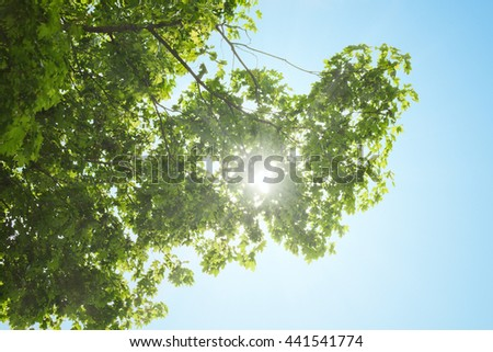 The crown of maple tree over clear blue sky, with the sun beams through  - stock photo