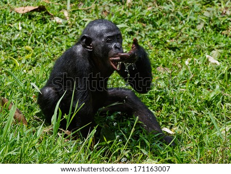 The cub  chimpanzee bonobo ( Pan paniscus)   drinks water from a palm