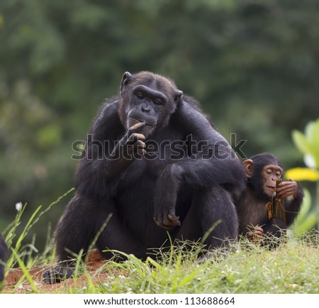 The cub of a chimpanzee sitting and relax in the nature. - stock photo