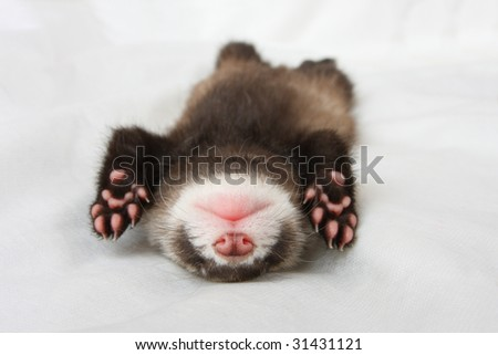 The cub of a polecat sleeps a sweet dream