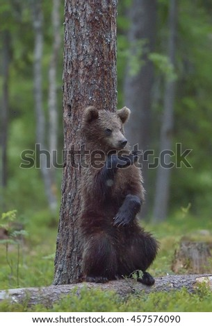 The Cub of Brown Bear (Ursus Arctos) standing on hinder legs  in the summer forest  Natural green Background  - stock photo