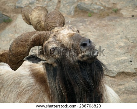 The curious markhor (Capra falconeri) close up