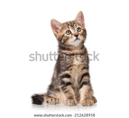 The curious siberian kitten sits isolated on white background - stock photo