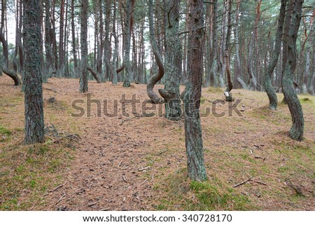 The Curonian Spit, dancing forest. Kaliningrad region - stock photo