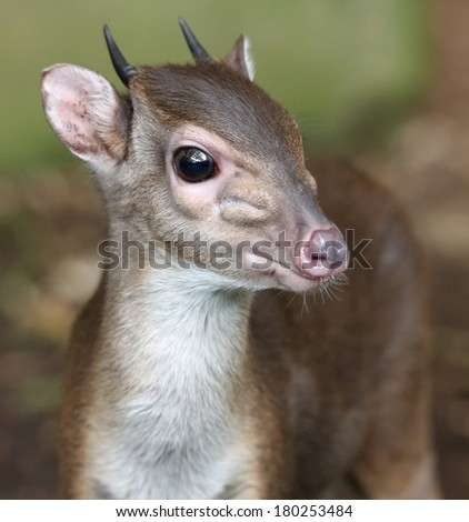 The cute and very shy Blue Duiker antelope in the undergrowth of the forest - stock photo