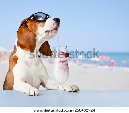 The cute beagle drinks  cocktail in bar on a beach - stock photo