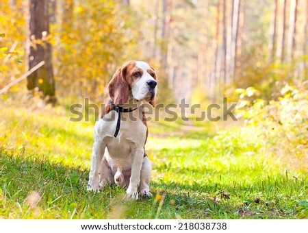The cute beagle in sunny autumn forest  - stock photo