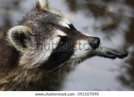 The cute fluffy raccoon close up portrait - stock photo