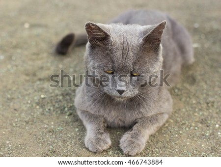 The cute gray cat.Cat lying on the earth