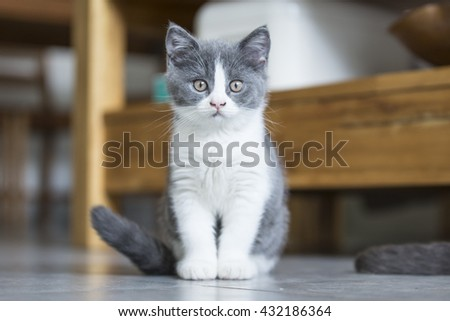The cute gray kitten