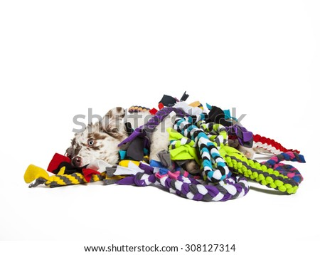 The cute puppy dog of Australian Shepherd,isolated on white background, playing with toys - stock photo