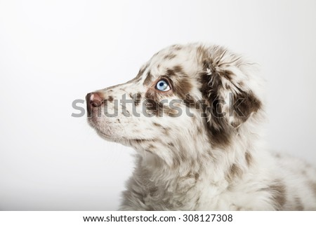 The cute puppy dog of Australian Shepherd, waiting, in profile - stock photo