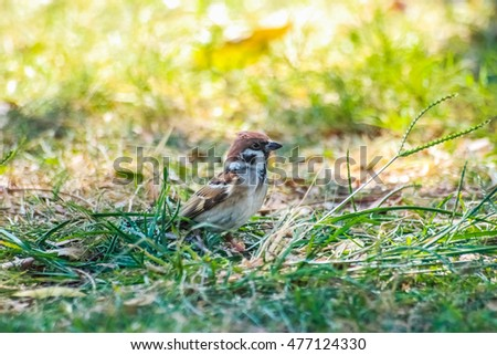 the cute sparrow stand on the grass