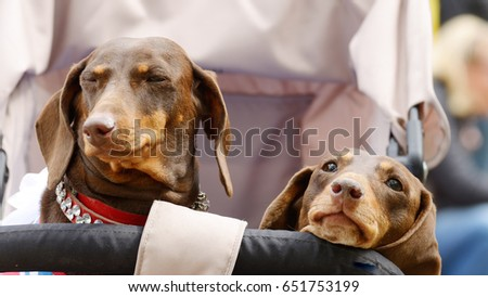 dachshund hunting dog this breed dog very stock photo royalty free