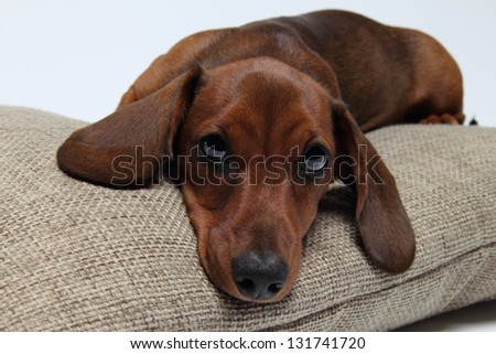 The dachshund lies on a pillow - stock photo