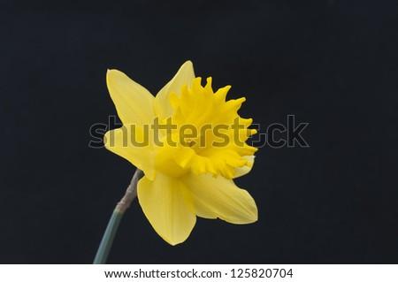 The daffodil in full bloom - stock photo