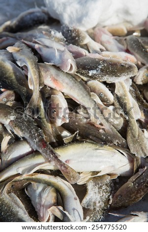 The daily catch of tomcod,  catch through holes in the ice at Ste-Anne De La Perade in Quebec province, Canada. - stock photo