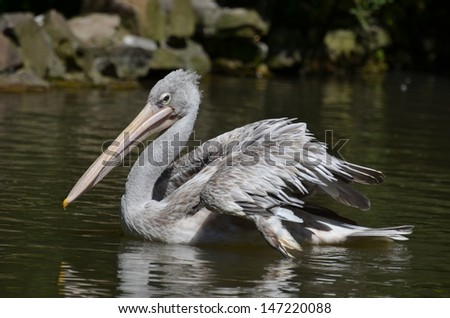 The Dalmatian Pelican or Pelecanus crispus is a massive member of the pelican family. It breeds from southeastern Europe to India and China in swamps and shallow lakes.