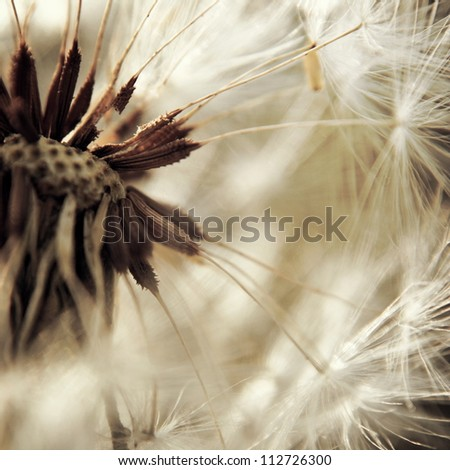 The Dandelion background - stock photo