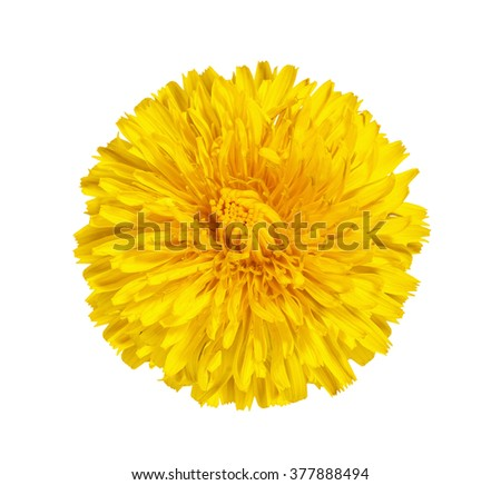 The dandelion, coltsfoot, yellow flower with yellow stamens isolated on the white - stock photo