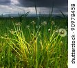 The dandelions against a stormy sky - stock photo