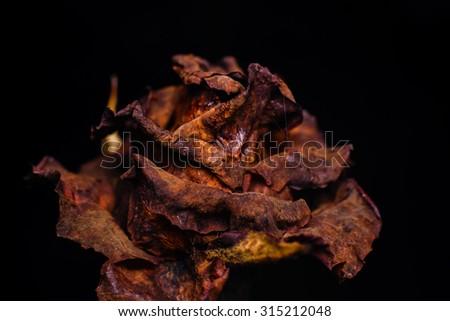 The dead rose flower,macro shot ,black background - stock photo