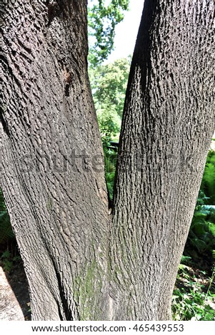 The deciduous tree's trunk of unusual shape in a city park in summer