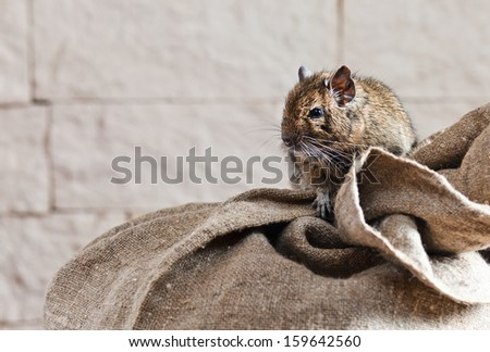 The degu (Octodon degus) is a small caviomorph rodent that is endemic to central Chile.