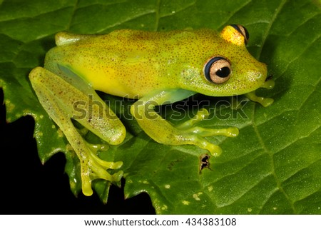 The Demerara Falls tree frog, Hypsiboas cinerascens, is a species of frog in the Hylidae family found in Bolivia, Brazil, Colombia, Ecuador, French Guiana, Guyana, Peru, Suriname, and Venezuela. - stock photo