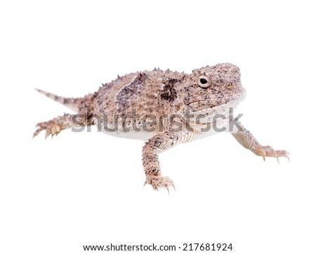 The desert horned lizard (Phrynosoma platyrhinos)  isolated on white background - stock photo