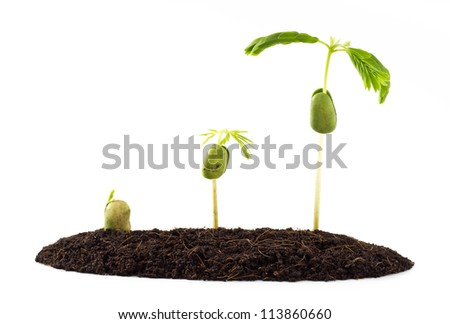 the different of growing step of tamarind seed sprout - stock photo