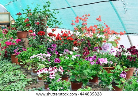 The different types of geraniums on the exhibition in Kozolupy in Czech Republic.  /  Different types of geraniums