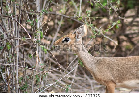 the Dik-dik is the smallest of the gazelle family and is very timid. Quite common in Samburu but often difficult to spot due to its shyness. - stock photo