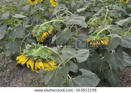 The disk of sunflowers (Select focus) is faces down to protect the seeds from solar radiation. - stock photo