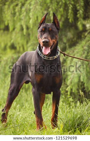 The Doberman Pinscher, a guard dog