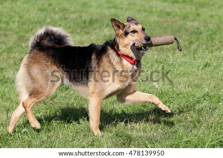 The dog a German shepherd runs on a green lawn