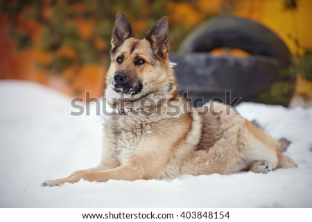 The dog a sheep-dog lies and protects. - stock photo
