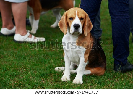 The dog breed beagle is sitting on green grass