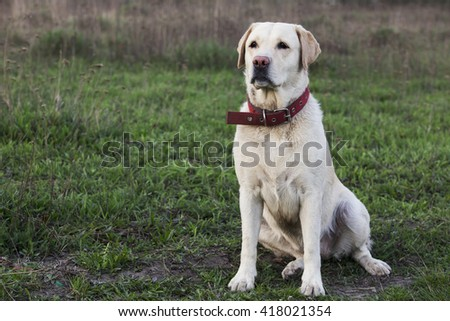the dog breed Labrador on a green grass