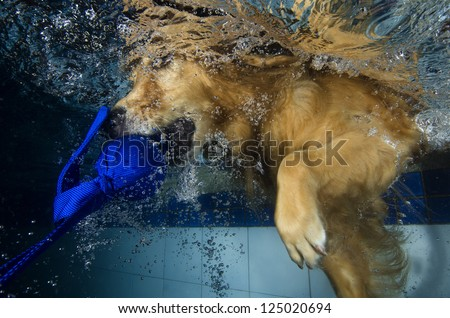 The dog diving and bite the ball in the pool, underwater view. - stock photo