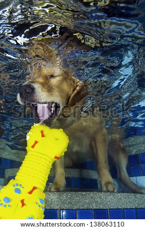 The dog diving and bite the bone in the pool, underwater view. - stock photo