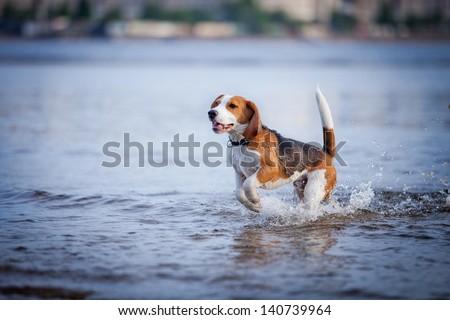 the dog in the water, swim, splash - stock photo