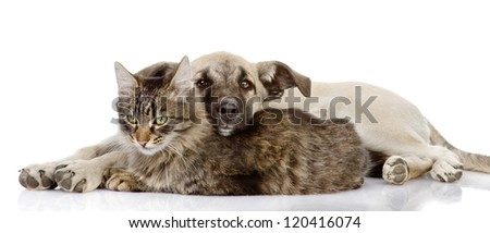 the dog lies on a cat. isolated on white background - stock photo