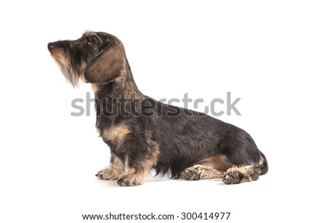 The dog of brown color sits on a white background.