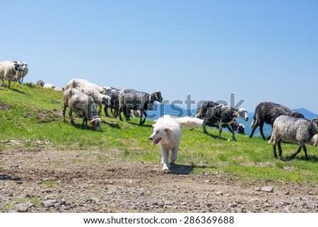 The dog protects sheep that graze on the slopes of Ukrainian Carpathians - stock photo