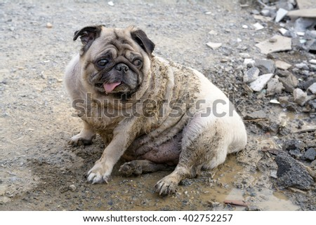 The Dog (Pug) play mud and sit around the house demolition