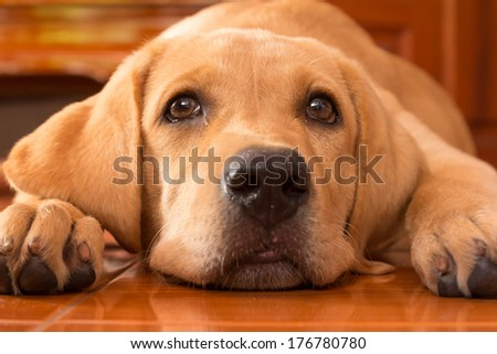 the dog puppy of labrador retriever is cute pet for the family with baby - stock photo