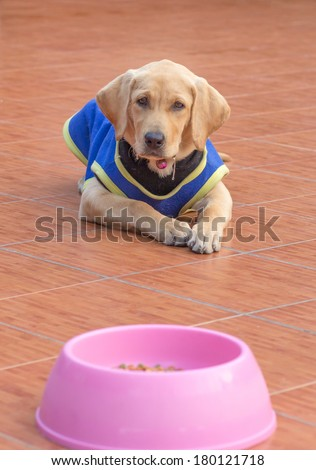 the dog puppy of labrador retriever is wait eat to feed - stock photo
